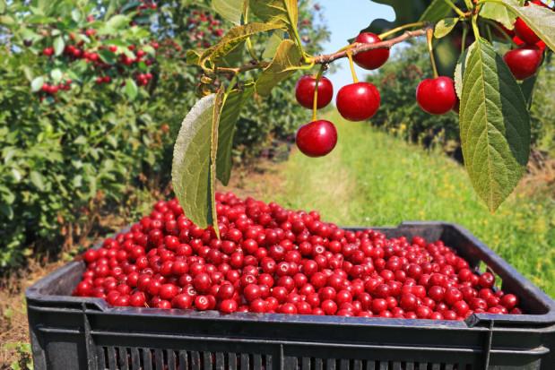 Niepewność na rynku wiśni. Jak kształtują się ceny skupu?