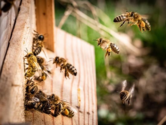Jest szansa na naturalny lek z grzyba na chorobę zakaźną pszczół