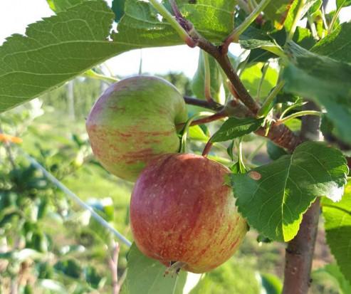 Ochrona sadów w lipcu – owocówka jabłkóweczka, zwójki, bawełnica korówka