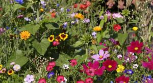 KRIR proponuje zaliczenie roślin miododajnych do upraw zazieleniających