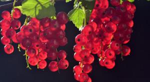 GUS: Owoców z plantacji jagodowych będzie ok. 10% więcej niż w 2019 r.