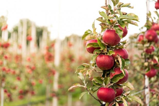 GUS: Zbiory owoców z drzew będą o ok. 5% wyższe od ubiegłorocznych