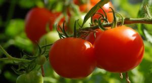 GUS: Warzyw będzie więcej niż rok temu, z wyjątkiem pomidorów gruntowych