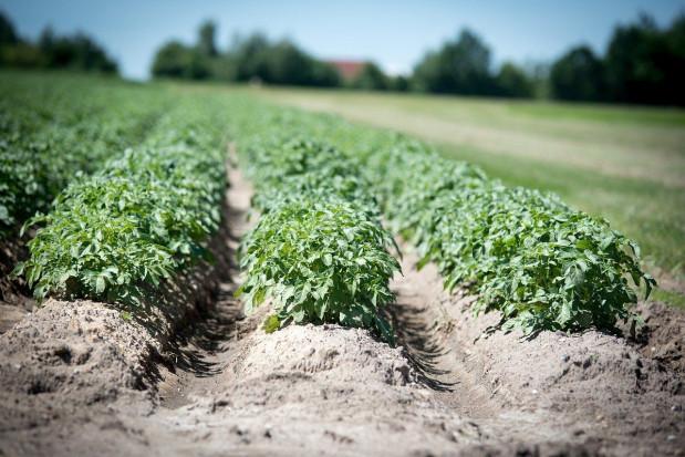 GUS: Powierzchnia uprawy ziemniaków będzie nieco wyższa od ubiegłorocznej