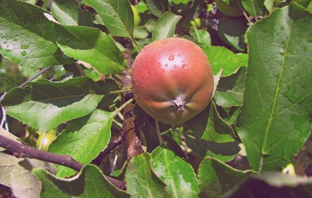 Ceny jabłek z przerywki dochodzą do 50 gr/kg