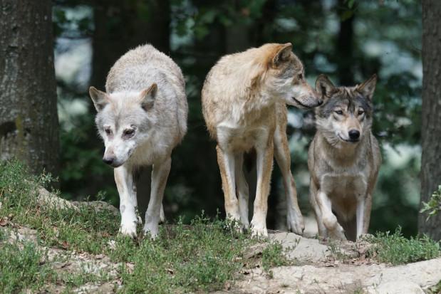 Warmińsko-mazurskie: Hodowcy otrzymają fladry do odstraszania wilków