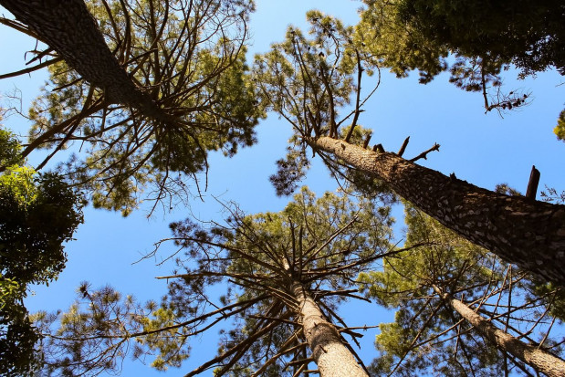 Podkarpackie: Niecodzienne okazy drzew w nadleśnictwach