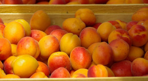Sezon na morele rozpoczął się później niż rok temu – ile zapłacimy za owoce?