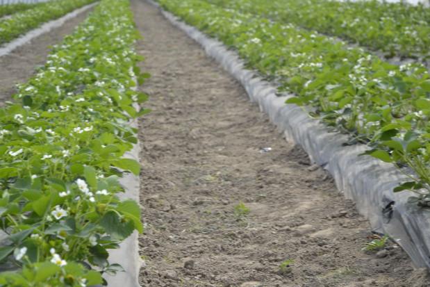 Zakładanie plantacji truskawek – przygotowanie stanowiska, dobór sadzonki i odmiany