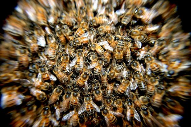 UR w Krakowie: Naukowcy przyglądają się życiu pszczół z bardzo bliska