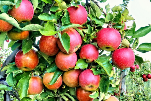 Prognosfruit 2020: Wzrost produkcji jabłek w Polsce w porównaniu z zeszłym rokiem