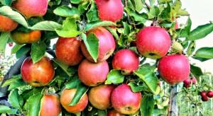 Prognosfruit 2020: Zbiory jabłek w Polsce wyniosą około 3,4 mln ton
