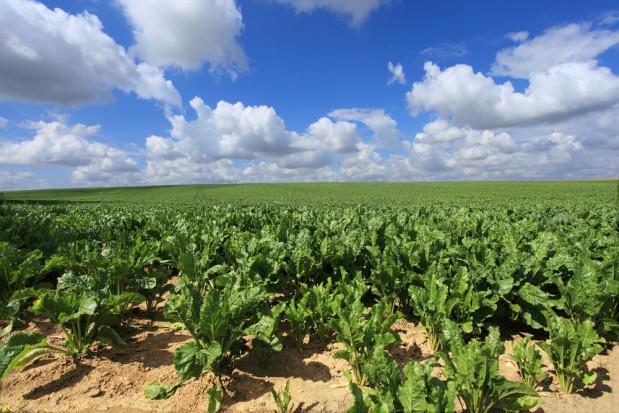 Uprawy buraka cukrowego we Francji zagrożone z powodu zakazu neonikotynoidów