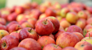 """Jakie ceny jabłek przemysłowych i z tzw. """"przerywki""""?"""
