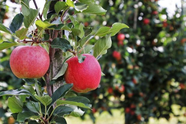 Prognosfruit 2020: Zbiory większości odmian jabłoni wyższe niż rok temu