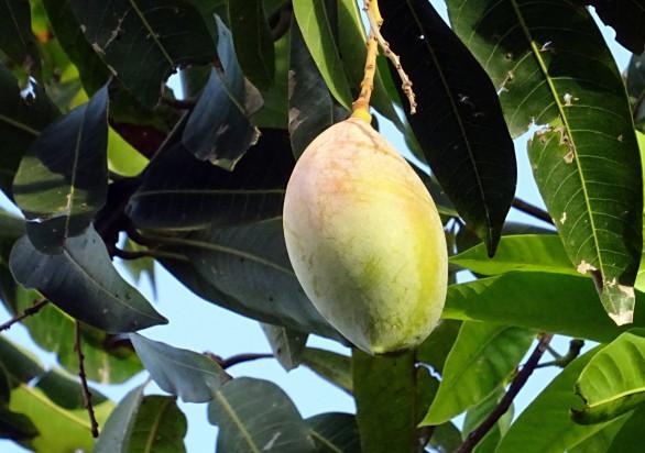 W Kolumbii wyhodowano największe mango świata