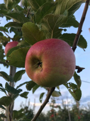 Z wizytą w kwaterze jabłoni odmiany Arszam (zdjęcia)