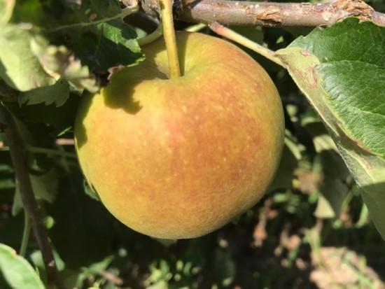 Belgia: Sadownicy zmagają się z  oparzeniami słonecznymi na jabłkach i gruszkach