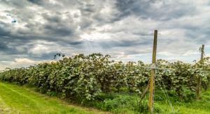 Włochy: Regionalna produkcja kiwi poważnie zagrożona