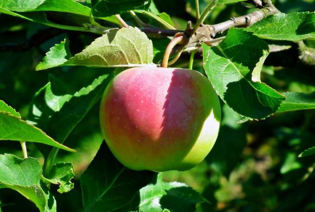 Ochrona przedzbiorcza jabłoni – jaka strategia?