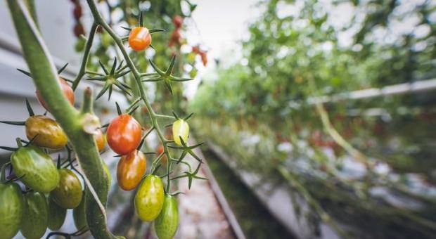 Tomato mottle mosaic virus – jakie objawy powoduje na roślinach?