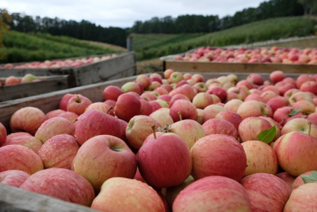 Rozpoczęły się zbiory jabłek w Południowym Tyrolu