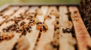 Pszczelarze: w tym roku pszczoły chętnie się roiły, będzie mniej miodu