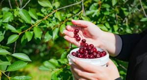 Powiat starachowicki: 6 cudzoziemców zatrudnionych nielegalnie przy zbiorze wiśni