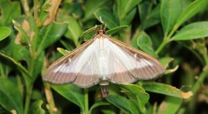Entomolog: ćma bukszpanowa i inne gatunki doczekają się naturalnych wrogów
