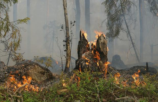 W sierpniu, do połowy miesiąca, w Lasach Państwowych wybuchło 101 pożarów