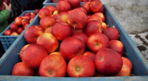 RPA planuje rekordową dostawę jabłek do Europy