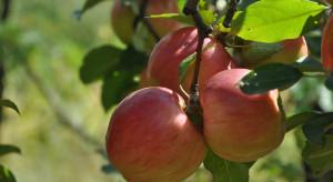 Wzrasta produkcja ekologicznych jabłek w Holandii