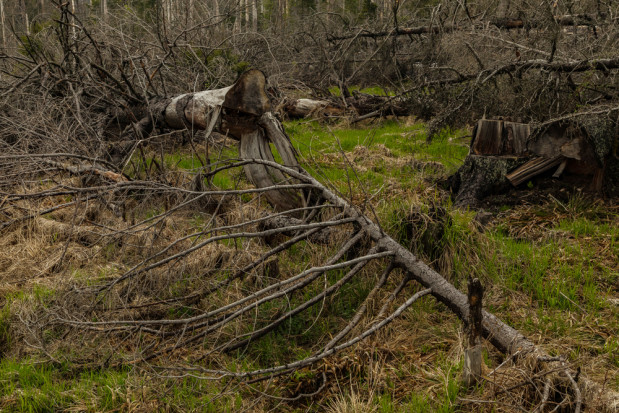 Niemcy: Szkody w lasach są większe niż dotąd szacowano