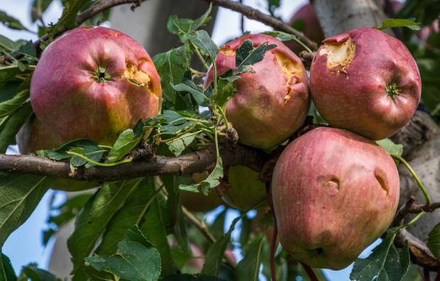 Włochy: Burze i grad niszczą plantacje owoców w trakcie zbiorów
