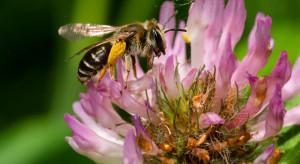 Naukowcy testują nowe substancje wspomagające odporność pszczół