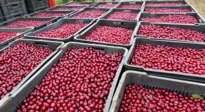 Ministerstwo Rolnictwa ws. niskich cen skupu wiśni: reagujemy w zakresie swoich uprawnień