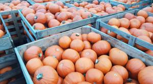 W Molak Pumpkin trwają zbiory dyni (zdjęcia)