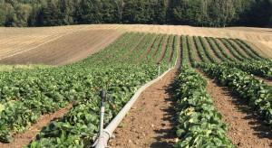Dokarmianie pozakorzeniowe i stymulacja po zbiorach truskawek (zdjęcia)