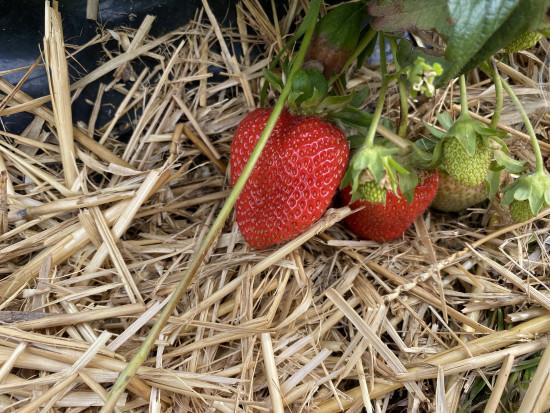 Z wizytą na plantacji truskawki powtarzającej. Największe zagrożenia agrotechniczne (zdjęcia)