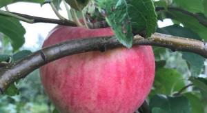 3 ciekawe odmiany letnich jabłek, którymi warto się zainteresować