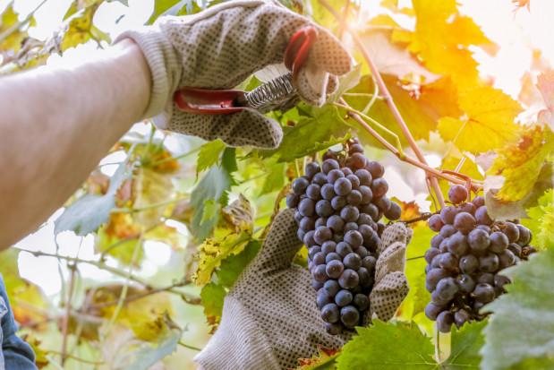KOWR przypomina: Deklaracje dotyczące uczestników rynku wina do 31 sierpnia