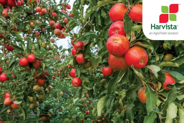 1-MCP opóźni zbiory jabłek. Jest zezwolenie na wprowadzenie Harvista™ 1.3 SC