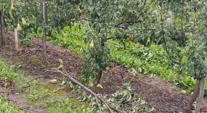 Gmina Warka: Uszkodzone sady po ostatniej wichurze (zdjęcia)