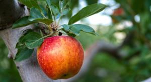 W sierpniu jabłka cieszyły się największą popularnością spośród owoców (badanie)