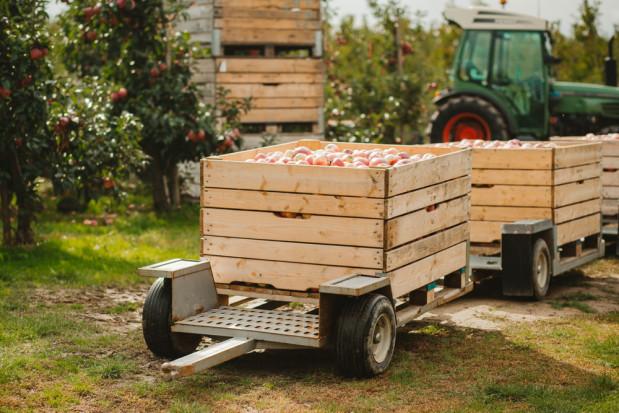 Niemcy: W Saksonii rozpoczęto zbiory jabłek