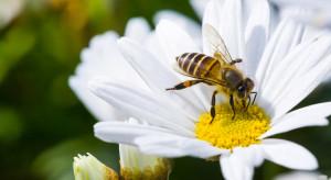 Naukowcy: Ekstrakt z konopi przedłuża życie pszczół narażonych na działanie pestycydów