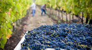 Na Podkarpaciu winobranie rozpocznie się najwcześniej pod koniec września