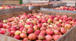 Jakie ceny jabłek przemysłowych w rejonie grójecko-wareckim?