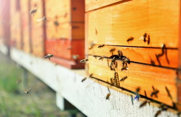 Lasy Państwowe rozpoczęły akcję wpierającą osiedlanie się pszczół