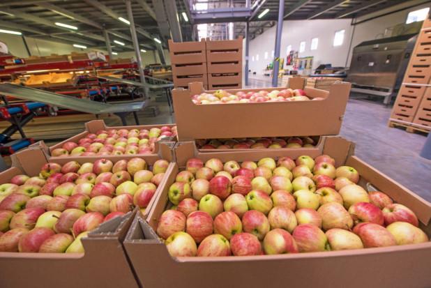 Eksporter: Spodziewamy się, że tegoroczny eksport jabłek będzie wysoki